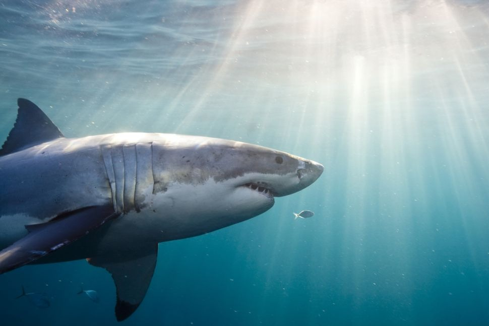 7 Unanswered questions about sharks 2