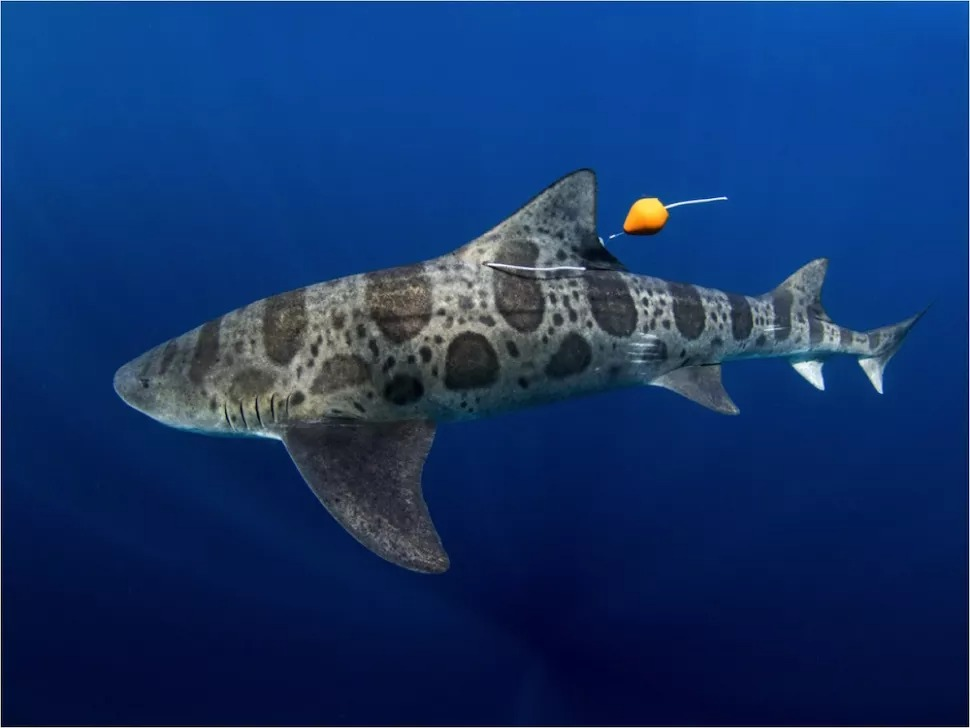 7 Unanswered questions about sharks 4
