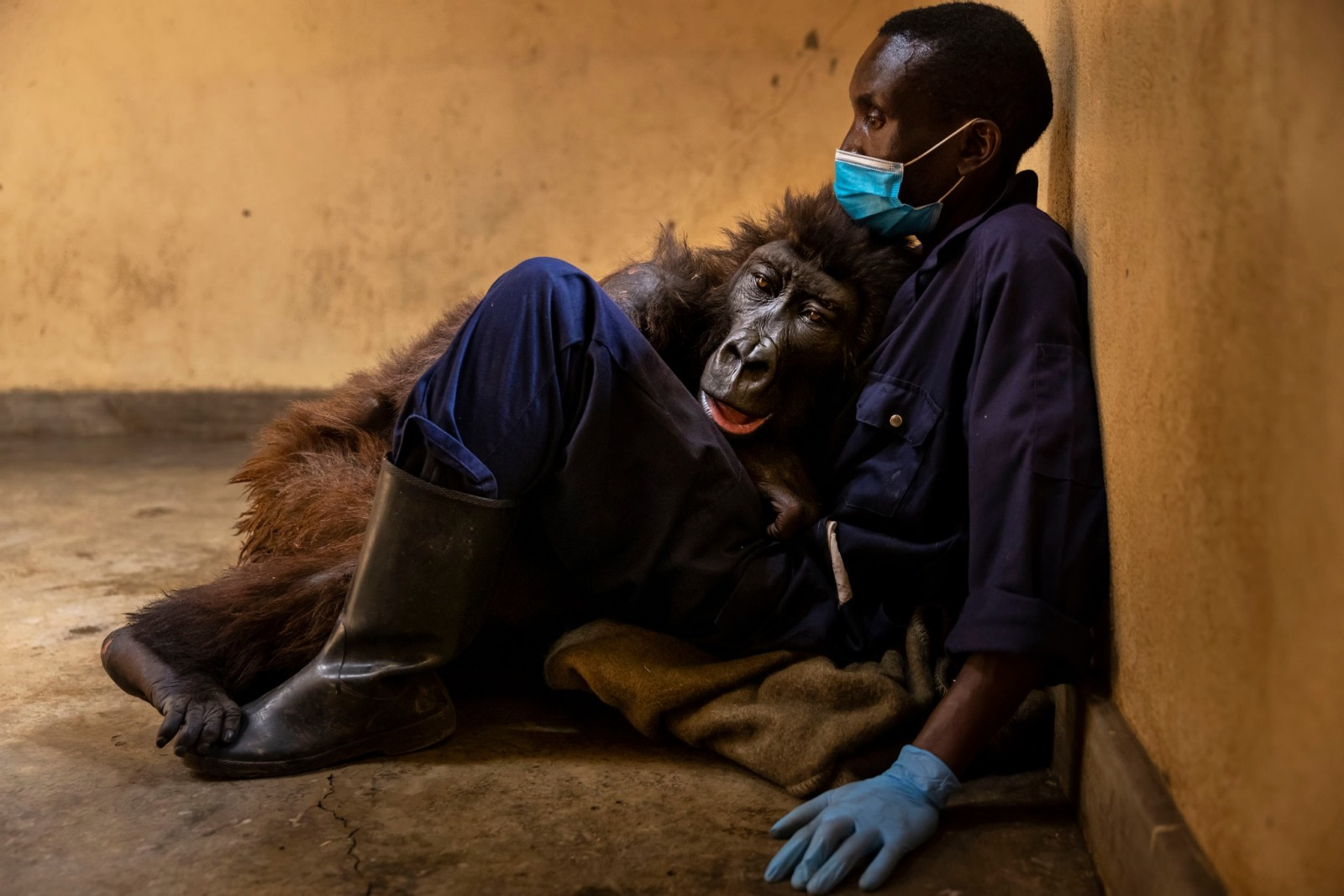 Gorilla Spends Her Final Moments Hugging The Man Who Saved Her As A Baby 6