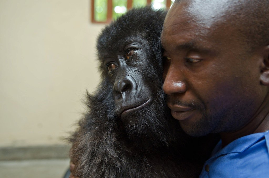Gorilla Spends Her Final Moments Hugging The Man Who Saved Her As A Baby 4