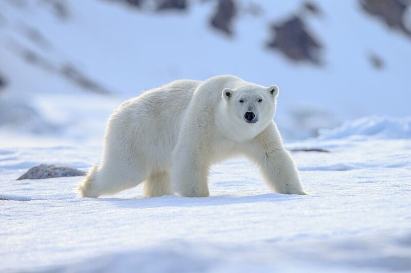 7 majestic Arctic wildlife in danger from global warming 2