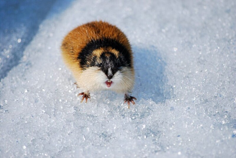7 majestic Arctic wildlife in danger from global warming 4