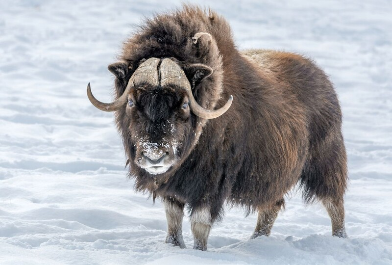 7 majestic Arctic wildlife in danger from global warming 6