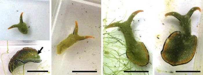 These Self-Decapitating Sea Slugs Can Grow an Entire New Body on The Old Head 1