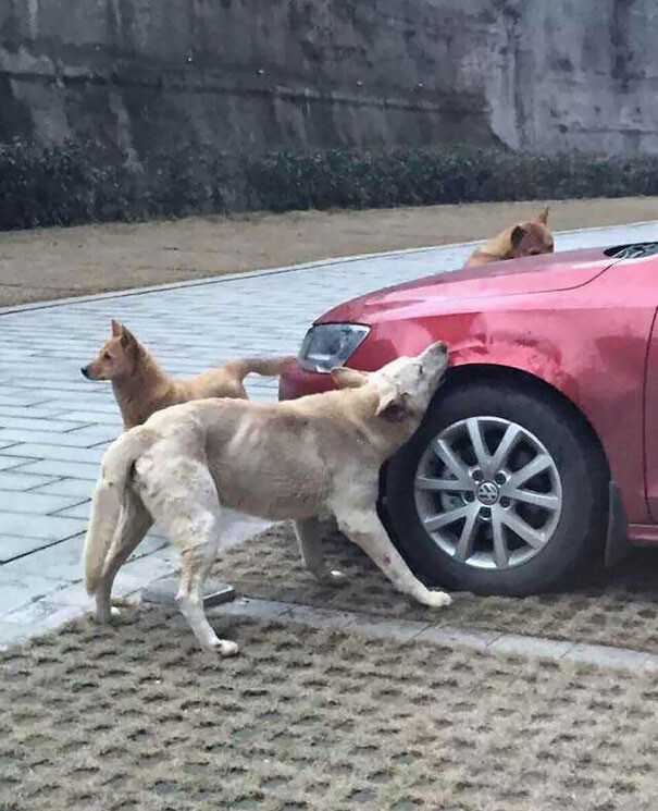 Driver Kicks Stray Dog, It Returns With A Pack Of Friends To Trash His Car 1