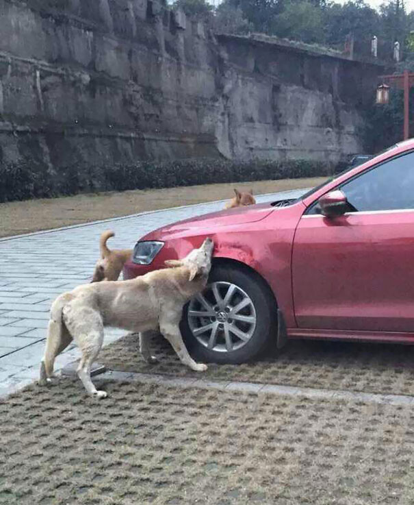 Driver Kicks Stray Dog, It Returns With A Pack Of Friends To Trash His Car 2