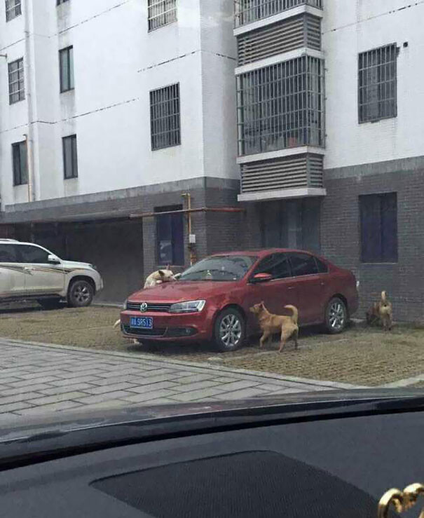Driver Kicks Stray Dog, It Returns With A Pack Of Friends To Trash His Car 3