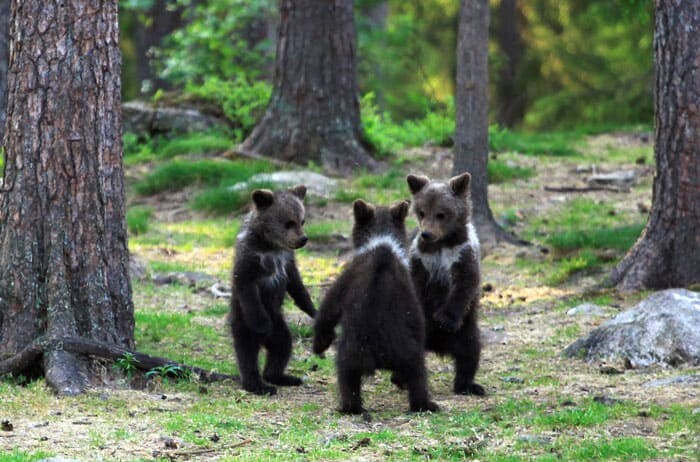 A Trio Of Adorable And Playful Baby Bears Spotted Dancing In Finland Forest, Captured By Photographer (12 PHOTOS) 1