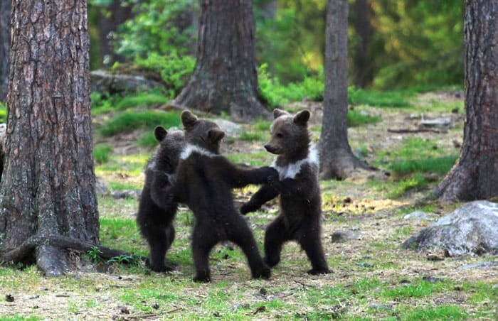 A Trio Of Adorable And Playful Baby Bears Spotted Dancing In Finland Forest, Captured By Photographer (12 PHOTOS) 2