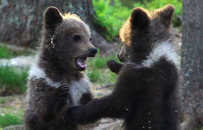 A Trio Of Adorable And Playful Baby Bears Spotted Dancing In Finland Forest, Captured By Photographer (12 PHOTOS) 3