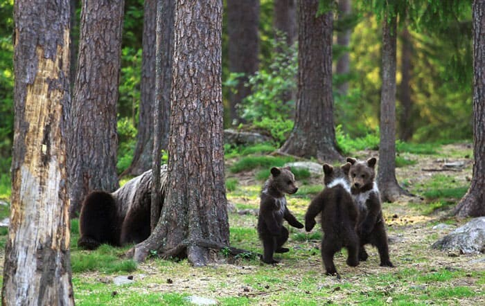A Trio Of Adorable And Playful Baby Bears Spotted Dancing In Finland Forest, Captured By Photographer (12 PHOTOS) 4