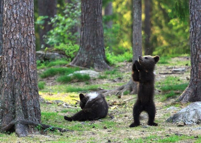 A Trio Of Adorable And Playful Baby Bears Spotted Dancing In Finland Forest, Captured By Photographer (12 PHOTOS) 5