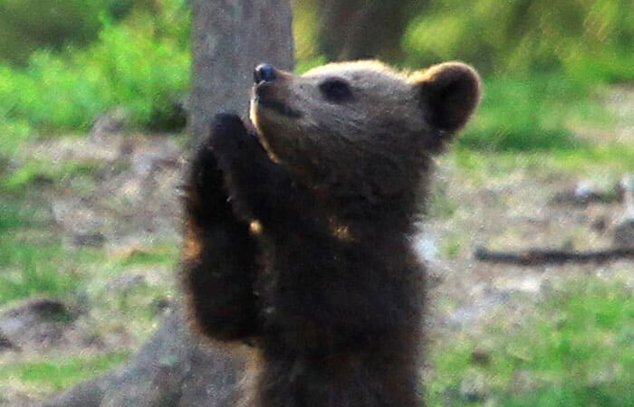 A Trio Of Adorable And Playful Baby Bears Spotted Dancing In Finland Forest, Captured By Photographer (12 PHOTOS) 6