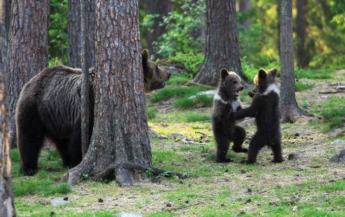 A Trio Of Adorable And Playful Baby Bears Spotted Dancing In Finland Forest, Captured By Photographer (12 PHOTOS) 7