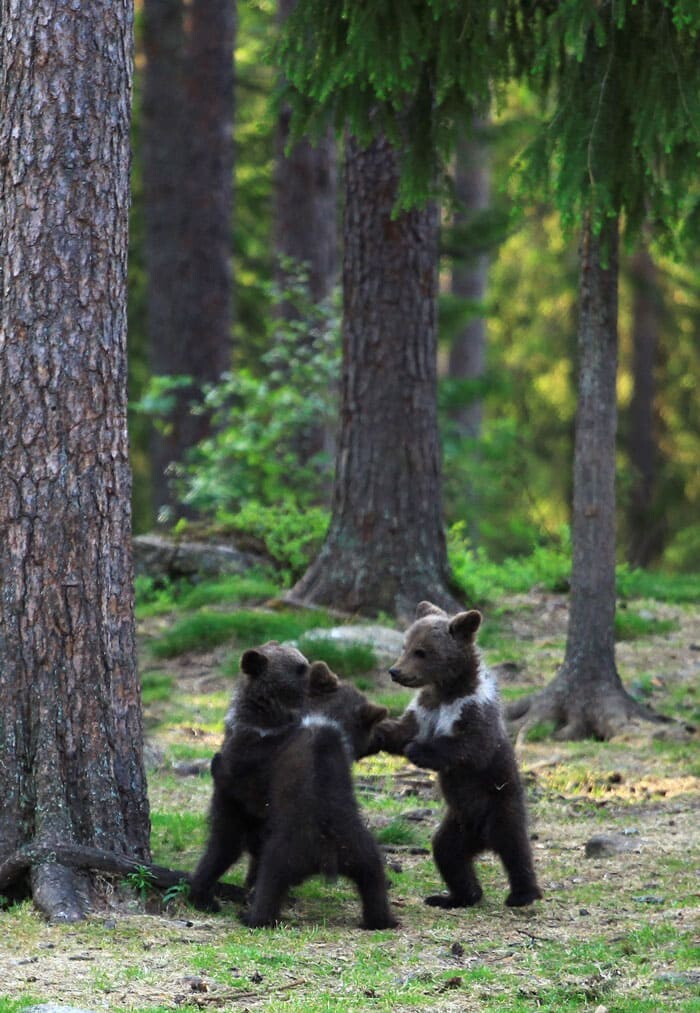 A Trio Of Adorable And Playful Baby Bears Spotted Dancing In Finland Forest, Captured By Photographer (12 PHOTOS) 8