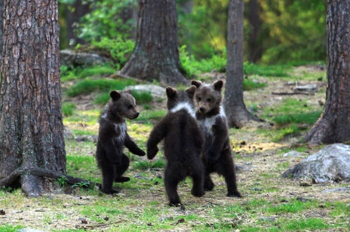 A Trio Of Adorable And Playful Baby Bears Spotted Dancing In Finland Forest, Captured By Photographer (12 PHOTOS) 9