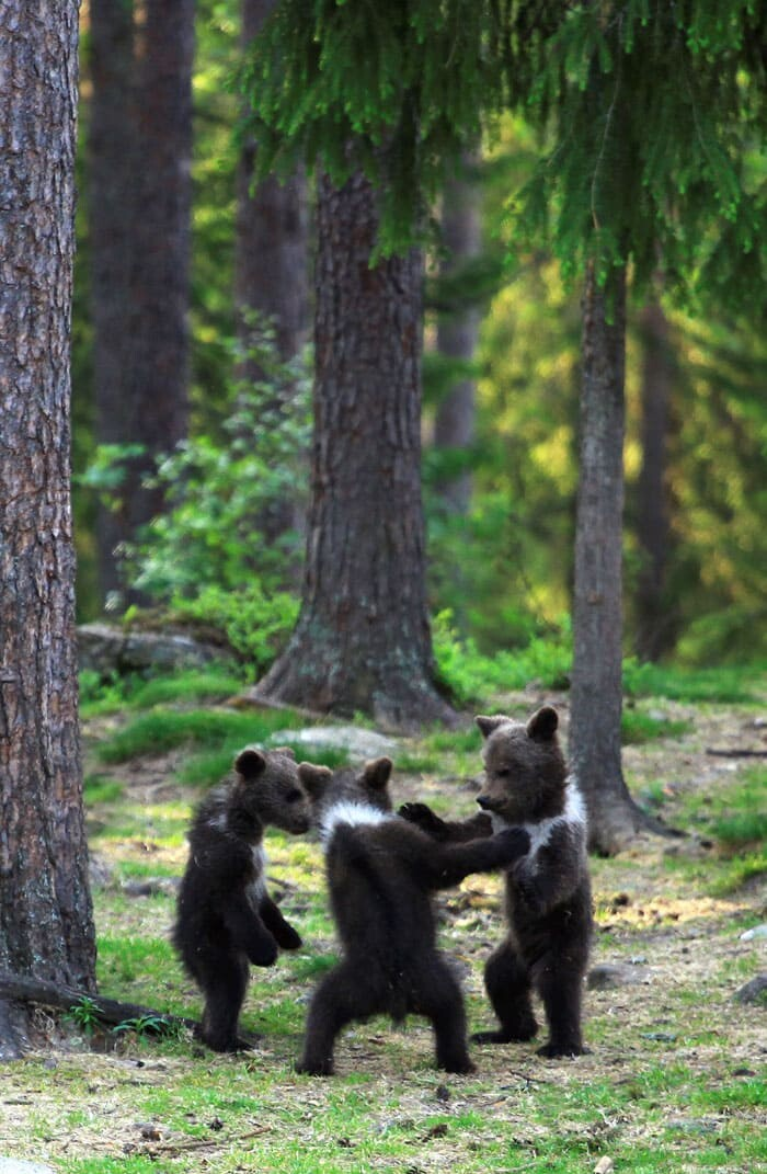 A Trio Of Adorable And Playful Baby Bears Spotted Dancing In Finland Forest, Captured By Photographer (12 PHOTOS) 12
