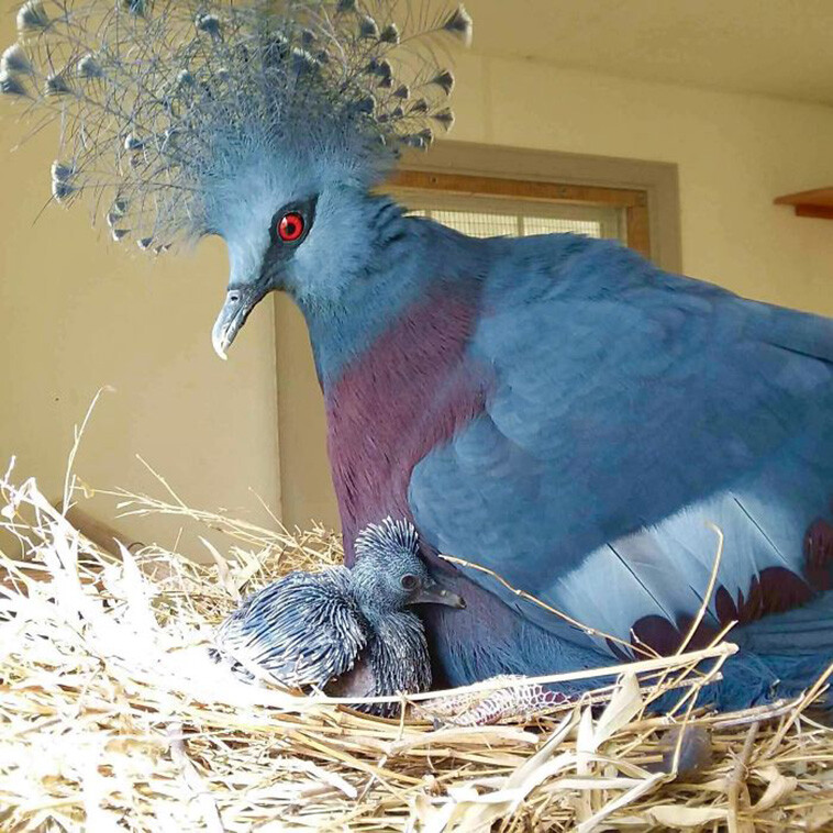 The Victoria Crowned Pigeon is Known as The Nature's Fanciest Bird (6 Pics) 1