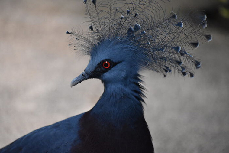 The Victoria Crowned Pigeon is Known as The Nature's Fanciest Bird (6 Pics) 4