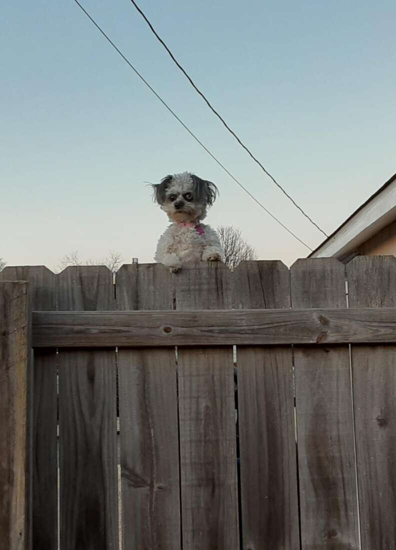 This Little Dog Peeking Over A Fence Is Making People Uncomfortable 1