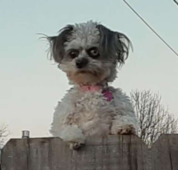 This Little Dog Peeking Over A Fence Is Making People Uncomfortable 2
