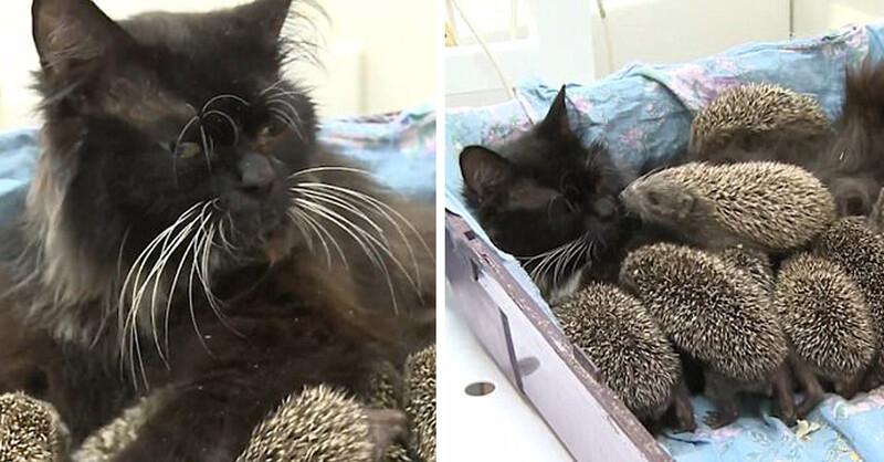 Mama Cat Adopts 8 OгρһɑпᴇԀ HᴇԀɡᴇһᴏɡ Babies And Raises Them As Her Own 1