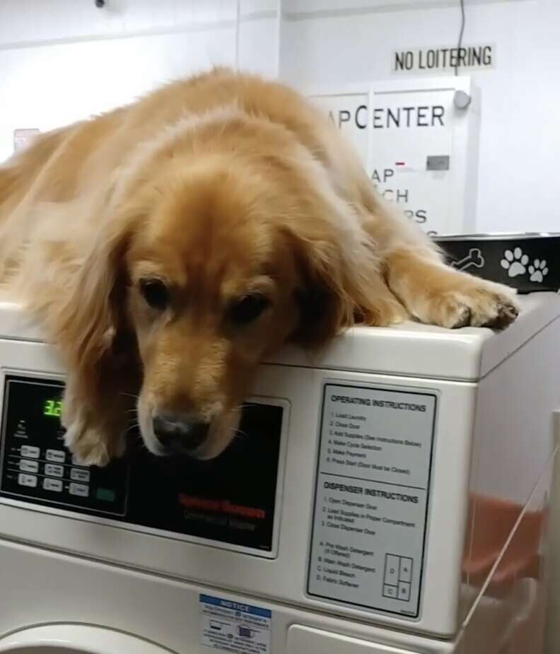 Dog Who Works At Laundromat Can't Stop Taking Naps On All The Machines 3