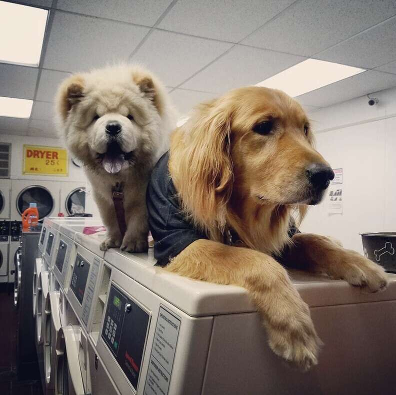 Dog Who Works At Laundromat Can't Stop Taking Naps On All The Machines 4