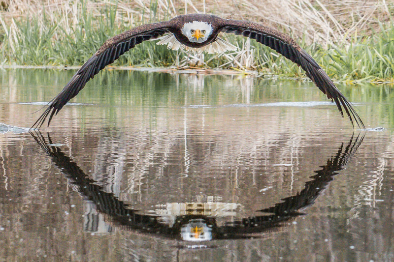 Magnificent: This is a magical shot of a bald eagle with symmetrical reflection snapped by photographer 1